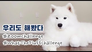 [ENG Sub] My dogs reacting to what the fluff and zoom challenge (feat. samoyed)