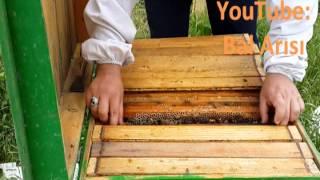 Ana arını yeniləyən yeşik