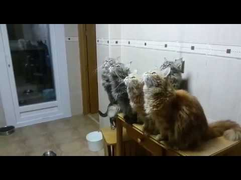 Maine Coon chirping