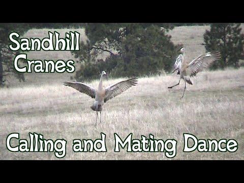 Sandhill Cranes Dancing ~ Mating Dance and Calls
