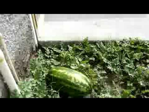 las sandias de casa - youtube
