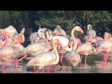 Flamingo Watch At Thane Creek -  Airoli Navi Mumbai