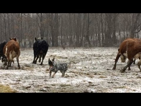 Bandit practices his herding skills | Australian Cattle Dogs