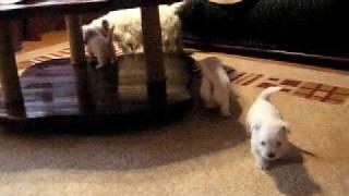 Betty Boop Westie Puppies