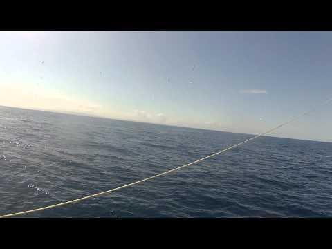 New Zealand West Coast striped Marlin Feeding