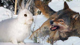Волки против зайца-беляка: природная драма | Film Studio Aves