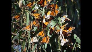 Pismo Beach & the Monarch Butterflies promo
