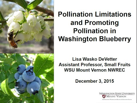 Pollination Limitations and Promoting Pollination in Washington Blueberry, Lisa DeVetter WSU