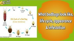 What bedbugs look like, life cycle, appearance & infestation