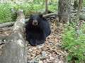 Beautiful Bear KILLED BY NJ HUNTER