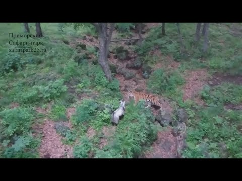 Another tiger and goat strike up an unusual friendship