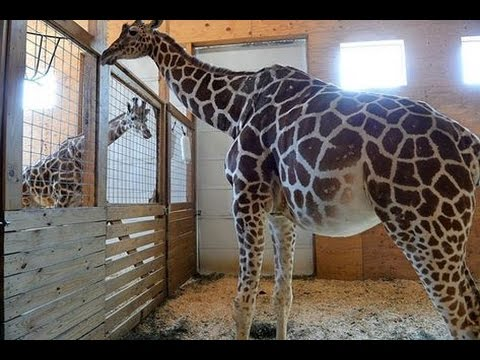April and Oliver Hugs Sweet | Animal Adventure Park Giraffe Cam Today 4/7/2017 It's Again LIVE