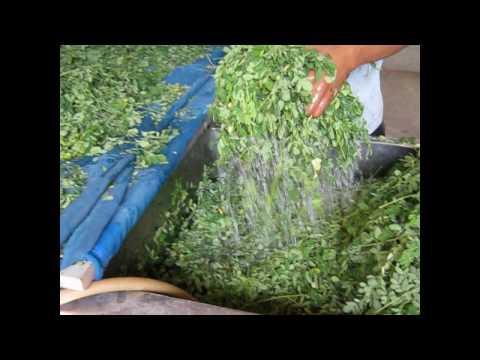 Moringa Leaf Powder - www.organicthailand.com