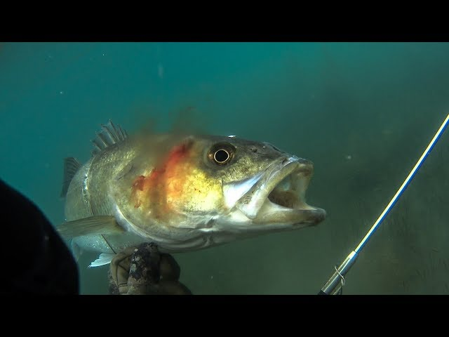 Spearfishing Large Seabass with a Pole spear - Teaser ✅