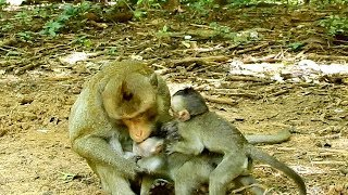 So Pity !All orphan babies live without moms and were not accepted by big male monkeys