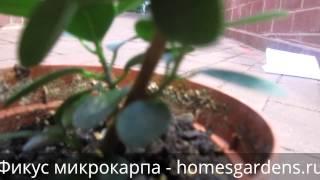 Вечнозеленый фикус микрокарпа(Фото фикуса микрокарпа и информация по уходу за этим растением: http://homesgardens.ru/komnatnye-rasteniya/fikus-mikrokarpa В этом..., 2015-01-10T10:30:27.000Z)