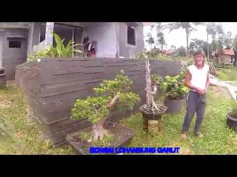 Bonsai Lohansung Garut