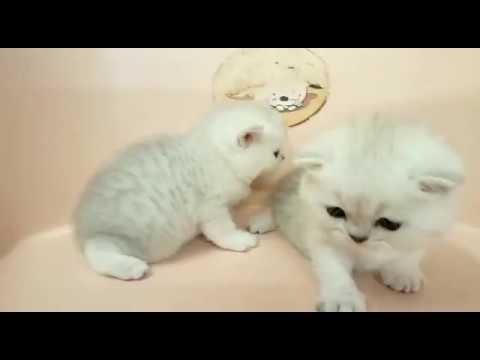 British Shorthair Kittens: Date of Birth Feb 05 2018