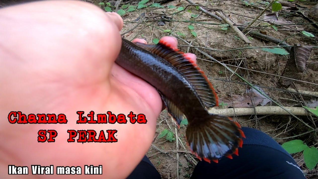 Mencari Ikan Paling Viral masa kini    Channa Limbata SP PERAK    PERHATIAN !!! Tidak untuk dijual