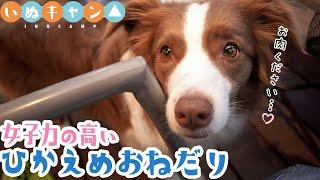 【女子力高い犬】ボーダーコリーの控えめなおねだりが反則級に可愛すぎ!!【大雨BBQ】