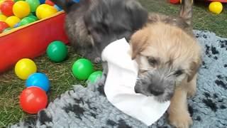 Irish Glen of Imaal Terrier , www.glensinmecklenburg.de