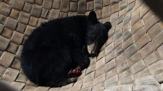 Bear cub burned in California Carr Fire, healing in hammock