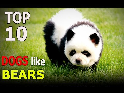 Top 10 dog breeds that looks like bears | Top 10 animals