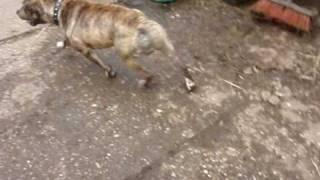 Monty - Staffordshire Bull Terrier Avaliable For Adoption