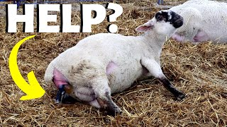 her-first-time-lambing-should-i-help-her-vlog-210