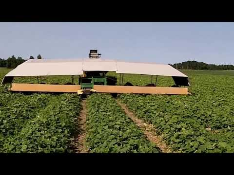 Огурец Гектор видео сбор урожая | механизиров | агрополекс | огурцов | урожая | уборка | семена | огурцы | огурца | огурец | купить