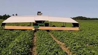 Огурец Гектор видео сбор урожая