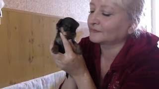 Как выглядят и что умеют щенки йоркширского терьера в 30 дней ?