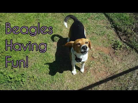 Happy Beagles! | Chubby Jumpers
