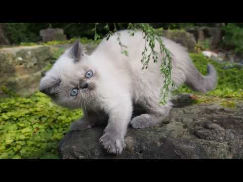 Purebred blue-eyed Exotic Short Hair Kitten (Blue Colorpoint)