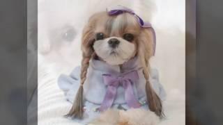 Собачка Ши-тцу