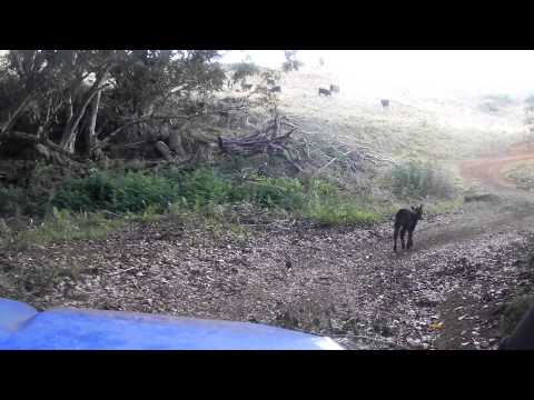 ATVing on Kipu Ranch - Little Calf in the Road