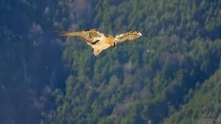 Nace el primer quebrantahuesos en Picos de Europa desde su extinción a mediados del siglo XX