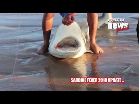 ASFN Sardine Run Fever 2018 -  Part 004