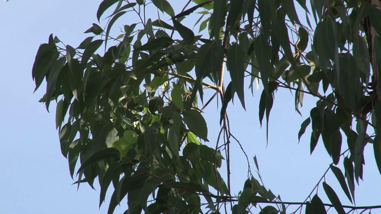 árbol De Eucalipto Con Fines Medicinales Youtube