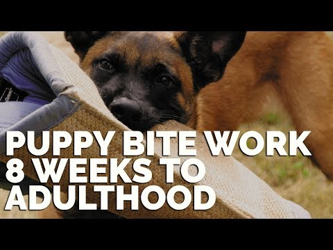 Puppy Bite Work 8 Weeks To Adulthood