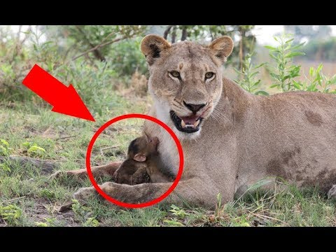 When This Baby Baboon Fell At The Mercy Of A Lion, A Camera Recorded The Cats Incredible Rea