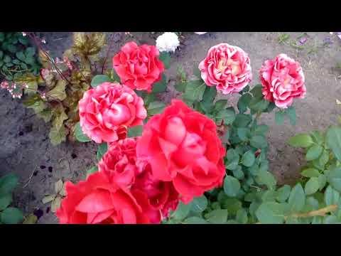 Мы в гостях у свата,его розарий.Отмечаем день рождения моей невестушки. # розы