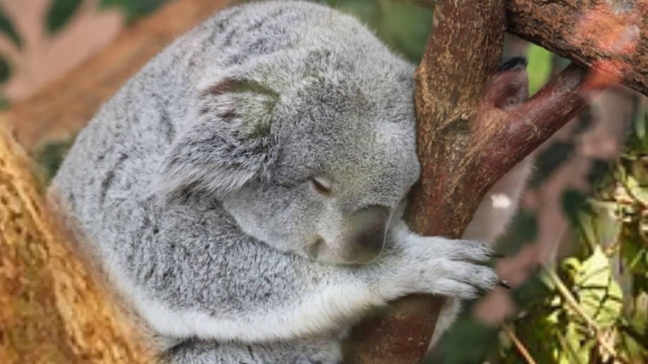 コアラ好きにはたまらない可愛いコアラの画像集可愛すぎますcute