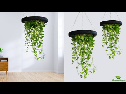 hanging-money-plants-make-your-home-look-amazing-|-idea-to-growing-money-plant-at-home//green-plants