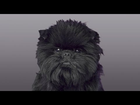 AFFENPINSCHER | DOG | ANIMAL TRIVIA