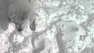 紀州犬風ちゃんとハツ君親子・北海道犬ソラ。 戸隠のキャンプ場で残雪遊...