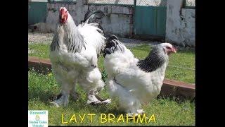 Brahma Cinsi Tavuklar Hakkında Kısa Bilgiler - Mehmet Eser   Konya