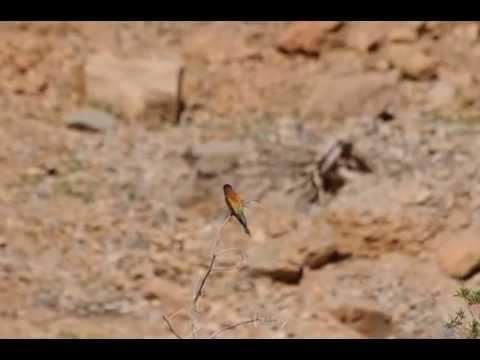 Bienenfresser Ruf / Bee-eater call / Merops apiaster