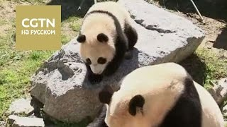 За первой прогулкой панды в зоопарке Мадрида наблюдала бывшая королева Испании София