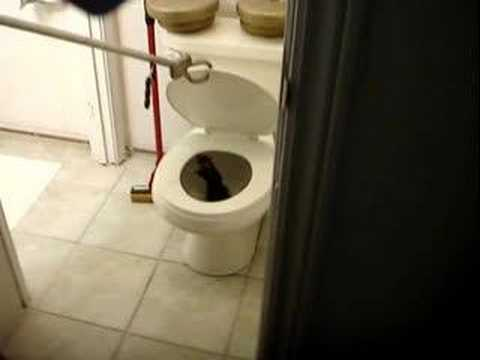 A rat crawled up my toilet - YouTube